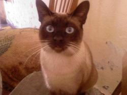 Felix, chat Siamois