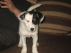 Elie, chien Jack Russell Terrier