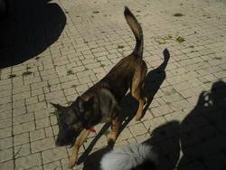 Flora, chien Berger belge