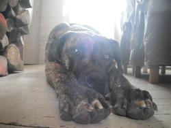 Omar De La Noblesse Bleue, chien Dogue allemand