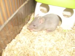 Lucky, rongeur Rat