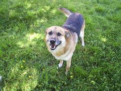 Toy, , chien Berger allemand