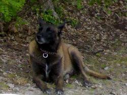 Twinie , chien Berger belge