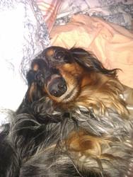 Domino, chien Teckel