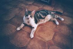 Siku, chat Européen