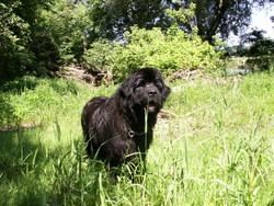 Ursa-Major, chien Terre-Neuve