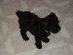 Sandy, chien Caniche