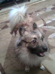 Foxy, chien Eurasier