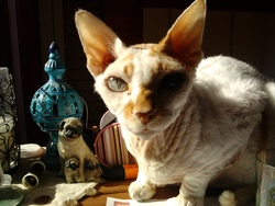 Phigaro, chat Devon Rex