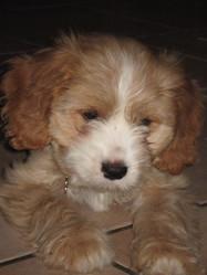 Tchoupi, chien Cavalier King Charles Spaniel