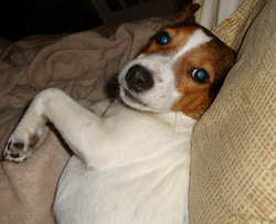 Prune, chien Jack Russell Terrier
