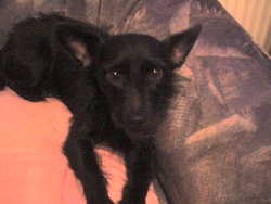 Prince, chien Schnauzer