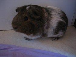 Barney, rongeur Cochon d'Inde