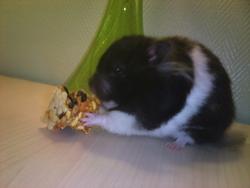 Pashima, rongeur Hamster