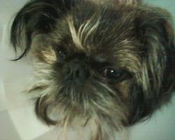 Pouppy, chien Griffon bruxellois