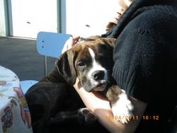 Falko, chien Boxer