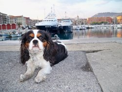 Cookie, chien Cavalier King Charles Spaniel