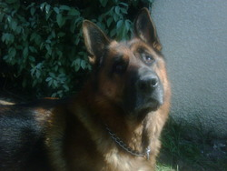 Capone, chien Berger allemand