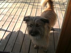Liloutte, chien Berger des Pyrénées