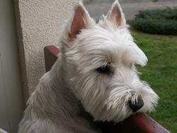 Wilo, chien West Highland White Terrier