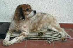 Eika, chien Épagneul breton