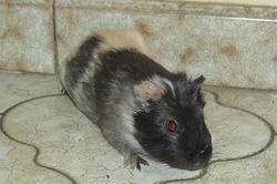Nesquik, rongeur Cochon d'Inde