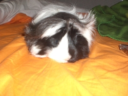 Daisy, rongeur Cochon d'Inde