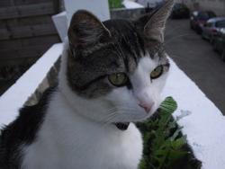 Marlée, chat Européen