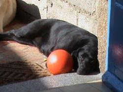 Hairy, chien Labrador Retriever