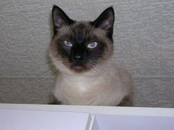 Pixel, chat Siamois