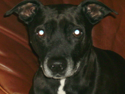 Boston, chien American Staffordshire Terrier