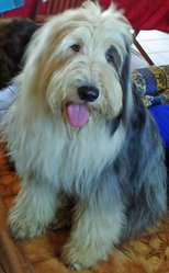 Ying Yang, chien Bearded Collie