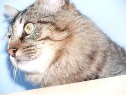 Minou, chat Européen