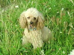 Tania, chien Caniche