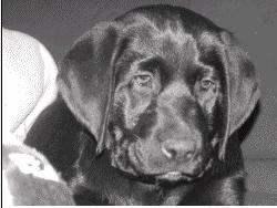 Elboy, chien Labrador Retriever