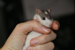 Dinkelmann Bear, rongeur Rat