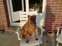 Bonny, chien Boxer