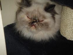 Fripouille Du Manoir Du Comté, chat Persan