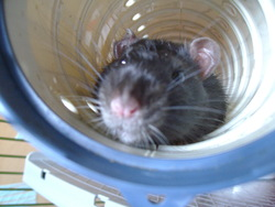 Silver, rongeur Rat