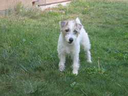 Etoile, chien Jack Russell Terrier