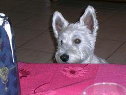 Chipie, chien West Highland White Terrier