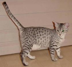 Kiria, chat Mau Egyptien