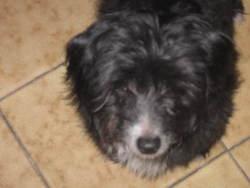 Pango, chien