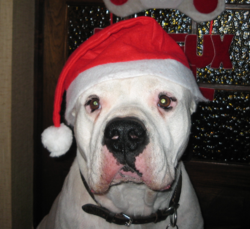 Tino, chien Dogue argentin