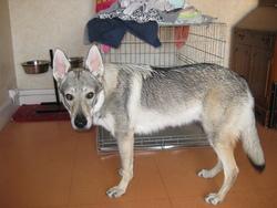 Hidéky, chien Chien-loup tchèque