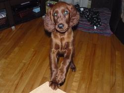 Douky, chien Setter irlandais