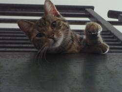 Minoute, chat Gouttière