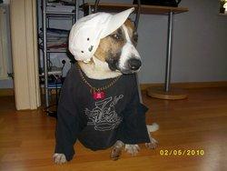 Radja, chien Staffordshire Bull Terrier