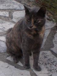 Narcisse, chat Européen