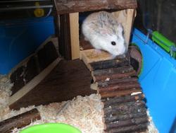 Spidi, rongeur Hamster